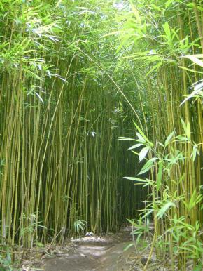 Definici n de bamb concepto en definici n abc - Cultivo del bambu ...