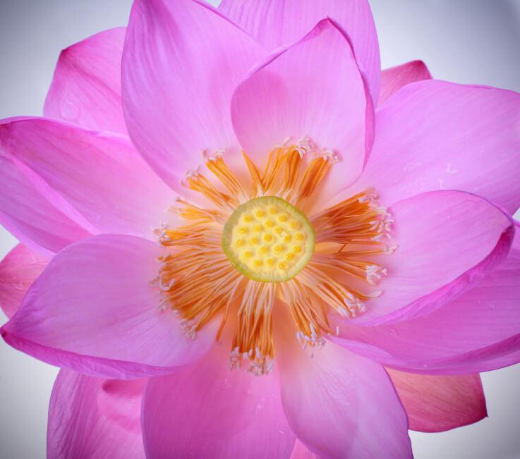 Definición de Flor de Loto