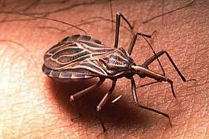 Enfermedad de Chagas Chipo