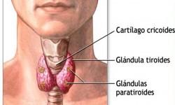 Definición de Paratiroides