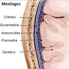Meninges 2