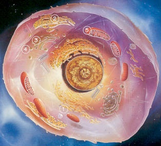 Celula animal 2