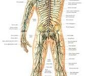 Definición de Sistema Nervioso Periférico