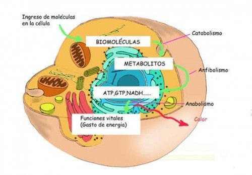 Anabolismo