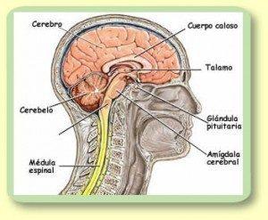 Medula espinal estructura y funcion