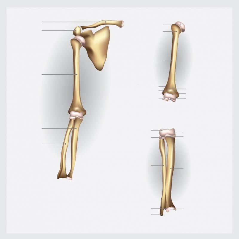 Definición de Huesos del Brazo
