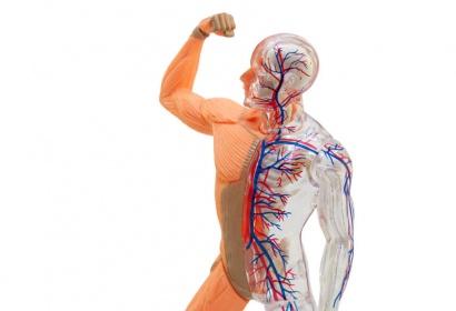 Sistema-Cardiovascular-2
