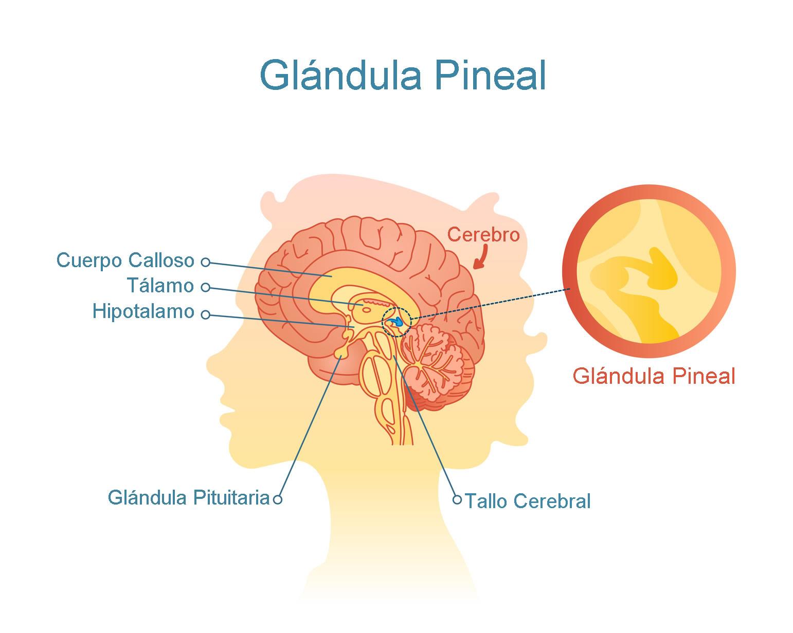 Definición de Glándula Pineal