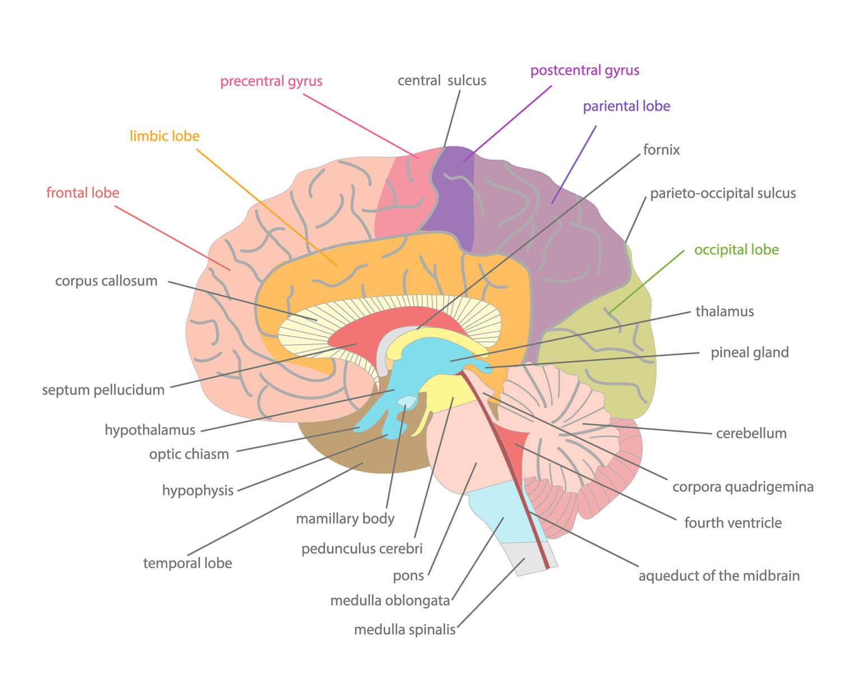 Definición de Neuroanatomía » Concepto en Definición ABC