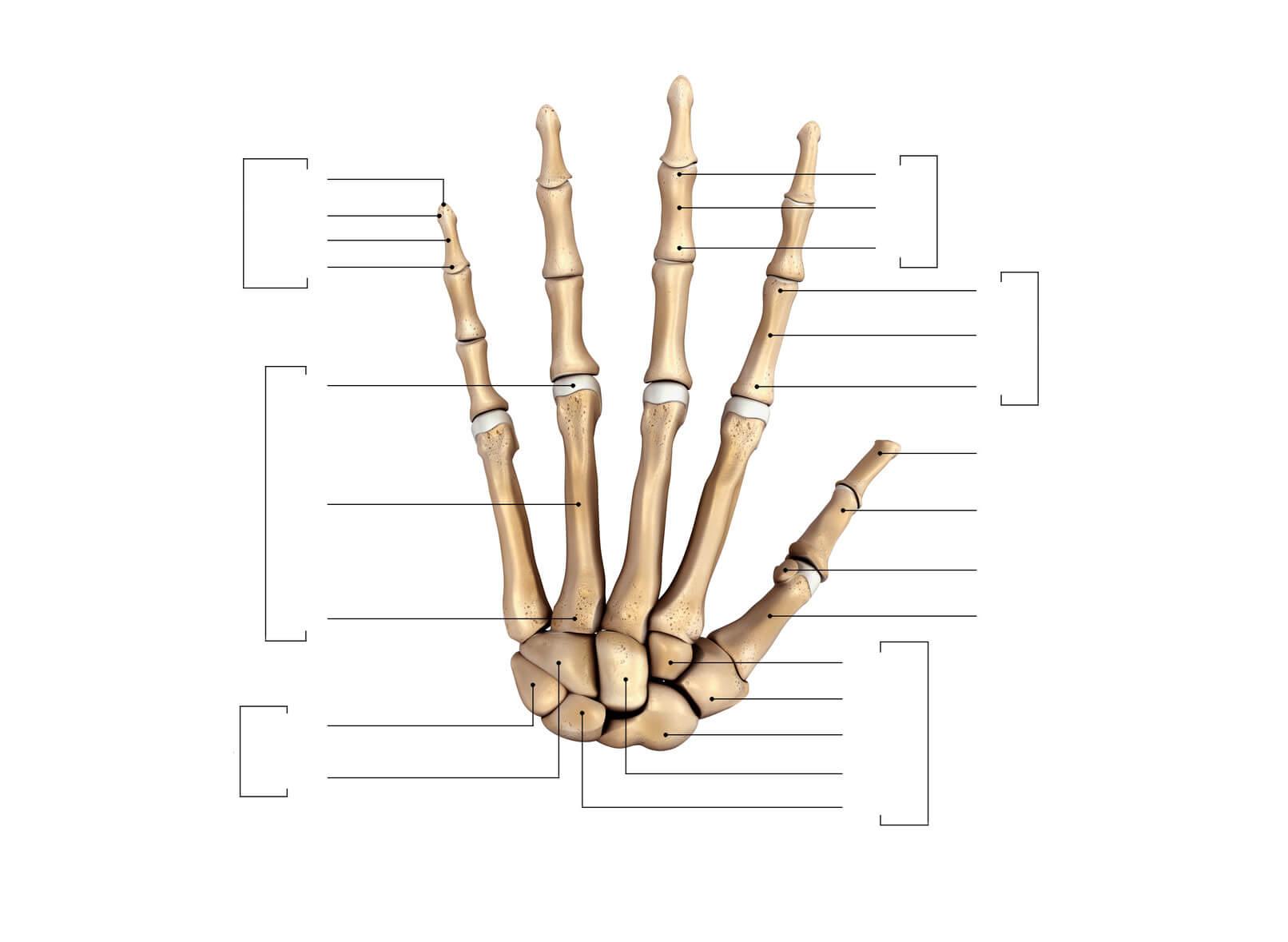 Definición de Huesos de la Mano » Concepto en Definición ABC