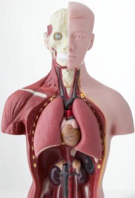organos-interior-cuerpo-humano