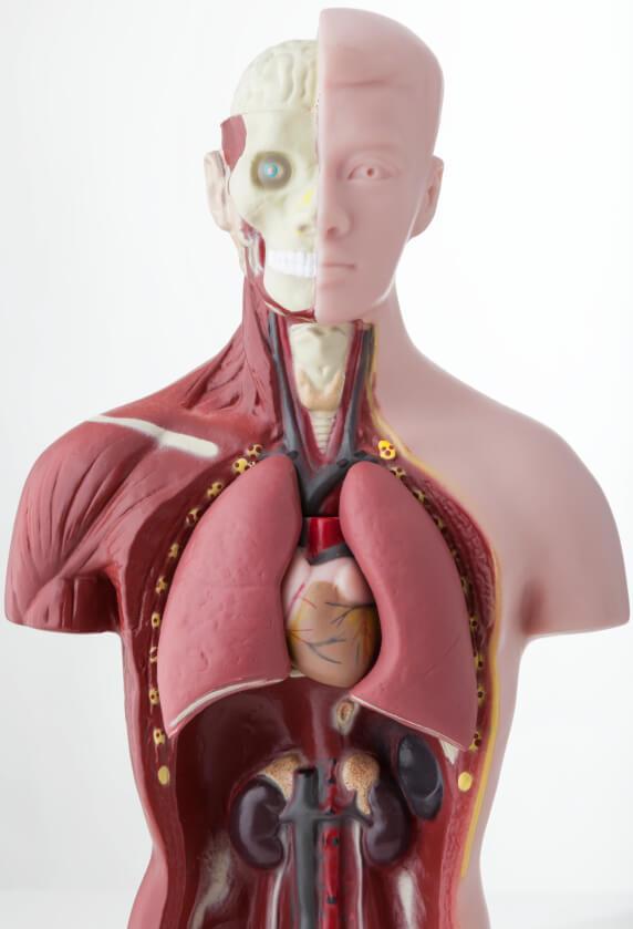 Definici n de rganos cuerpo humano concepto en for El interior del cuerpo humano