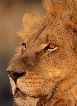 leon es un felino: