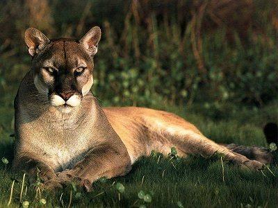 arco garrapata medias  Definición de Puma » Concepto en Definición ABC