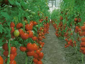 Definici n de tomate concepto en definici n abc for Plantaciones verticales